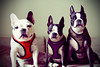 group shot. (erban) Tags: dog bostonterrier lola pebbles frenchbulldog groupshot photoshopfun thelittledoglaughed unyen onephotoweeklycontest