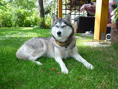 husky dog szarka (radimersky) Tags: summer dog green grass husky europa europe poland polska pies silesia lsk syberian trawa zielona lato szarka lecy  icehusky haski   sibirskiy