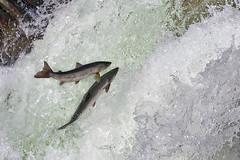 Salmon (Salmo salar) (birdingrob) Tags: brown fish norway river waterfall fishing salmon atlantic arctic flyfishing trout finnmark salmo trutta salaris