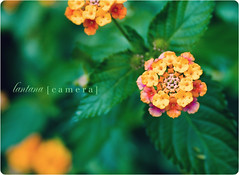 Lantana Camera [Explored!] (Brandon Christopher Warren) Tags: camera pink orange flower colors yellow gum stars happy flickr candy bokeh smooth teenagers faded fate font script lantana delightful chiclets lantanacamera