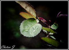 Known is a drop, Unknown is ocean (Jchetan) Tags: greenleaves green water leaves dewdrops drops waterdrops wateronleaves chetanj