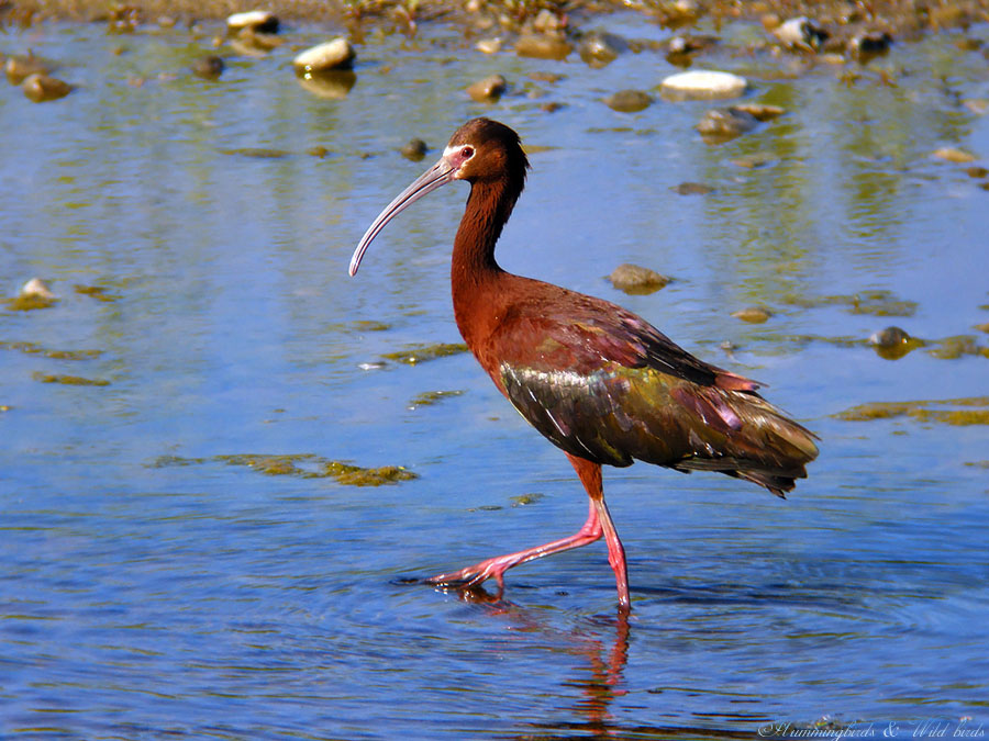 White-faced Ibis091-2