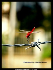 Dragonfly (Shahriar Xplores...) Tags: red macro beautiful beauty wire dof close image dragonfly top dhaka sell supermacro bangladesh gettyimages aisa sonyh hseries topmacro hx1 sonyjx1 requesttolicense shahriarphotography