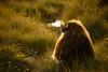 20090901-IMG_1720 (Robin100) Tags: africa animal mammal baboon ethiopia primate baboons gelada geladababoon guassa guassaplateau