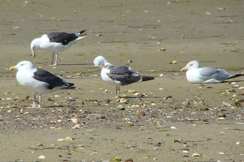 lesser black backed gull and local gulls