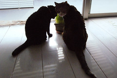 Backlit my cat Be and Mar (megawatt_fullvolume) Tags: cat mar chat be neko    t