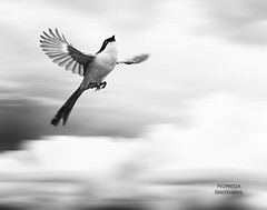 Marky's Flight (Tomasito.!) Tags: bird philippines surreal motionblur highspeed birdinflight tomasito strobist nikond90 philippinebird nikond700