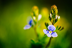 Out of Focus (Sergiu Bacioiu) Tags: flowers wallpaper plant flower macro green nature beautiful beauty closeup season spring natural bokeh growth environment delicate botany blooming