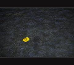Ripples of Fear (puppies8691) Tags: nature water leaf nikon flood sigma ripples yellowleaf d300 18200mm floodedstreet natureswrath thelastleaf ketsana ondoy puppies8691 mjtleneffphotography ketsanastorm ripplesoffear
