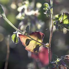 DSC_5019 - leaf (webber0075) Tags: light red usa nature landscape leaf colorado geen d300 mesaverdenationalpartk nearcortez