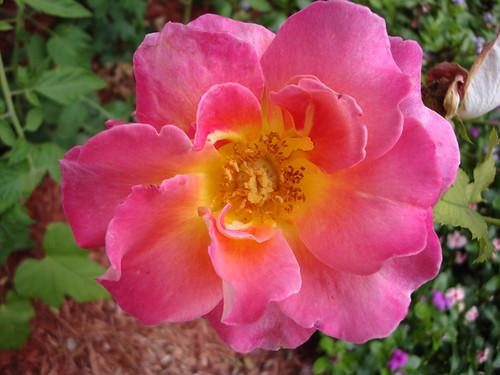 Rose, Granada