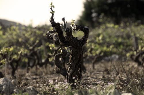 Vineyard Dance