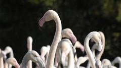 Head and Shoulders (Bob Small photography.) Tags: uk england nikon britain wildlife flamingo flamingos gloucestershire d200 flickrmeet wwt wetland slimbridge wildfowl bloominggreatnecks
