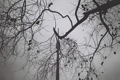 Hojitas en espera (Lepetitmorty) Tags: chile santiago blancoynegro 35mm hojas centro merced neopan analogue forzado olympusxa2 esperando contrapicado mikol 100400 análoga cuea rajúa