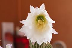 neobuxbaumia polylopha fiore (Silvio . S) Tags: flowers cactus house macro foglie casa natura fiori sole acqua piante luce primopiano vita fioritura sbocciare protuberanza