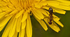 Macro of ant collecting nectar. (Xanis_WFN) Tags: macro ant bugs marigold pentaxkx pentaxsmcpda35mmf28