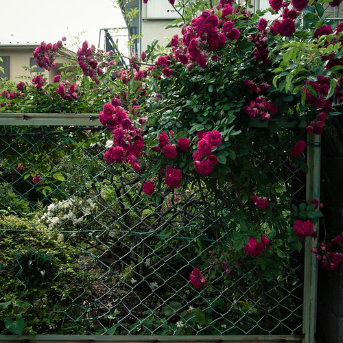 Red Bush Fence