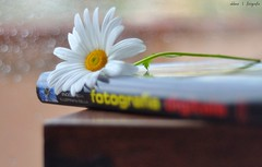 A la mierda... (DenisseBeirana | f o t o g r a f i a) Tags: flower primavera digital flor libro margarita fotografia margherita