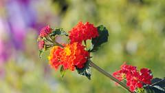 Colors and bokeh (Maryse Algoet) Tags: nature fleurs 135f2 nikond90 estremità