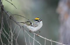 GcKIMG_5307-1 (Wildlife Paparazzi) Tags: goldencrownedkinglet