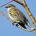 Yellow-rumped Warbler - Setophaga coronata, Chincoteague National Wildlife Refuge, Chincoteague, Virginia