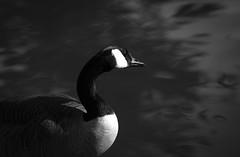 Canada Goose in Mono (glo photography) Tags: canadagoose gloriasalvanteglophotography sanfrancisco sanfranciscobotanicalgarden bird blackandwhite goose mono monochrome outdoor pond portrait water waterfowl