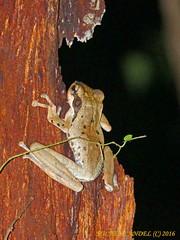 Polypedates macrotis - Dark-eared Treefrog - Mulu - Sarawak - BORNEO (michel-candel) Tags: polypedates macrotis darkeared treefrog mulu sarawak borneo