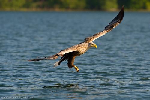 Sea Eagle