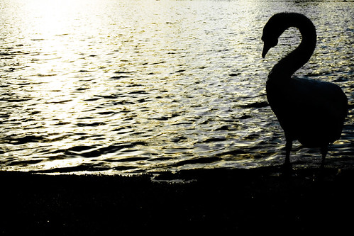 Cisne a contraluz. Swan against the light.