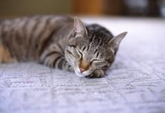 My Cat (Shoichi Masuhara) Tags: cat nikon f2  nikonf2photomic photomic fujifilmprovia100f canonmp980