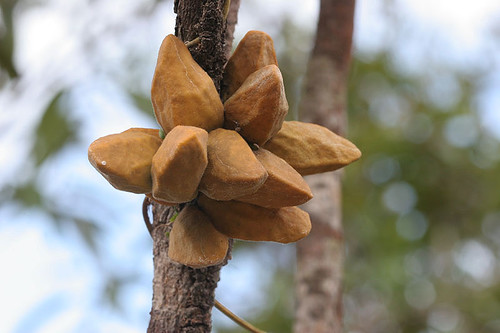 Dischidia rafflesiana