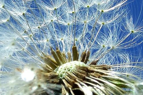 Dandelion - Taraxacum
