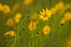 Alpha Test - Tickseed (anadelmann) Tags: flowers usa green yellow newjersey dof sony nj f100 alpha frontpage 900 coreopsis tickseed fortmonmouth v1000 a900 sonyalpha mdchenauge sonyalpha900 anadelmann