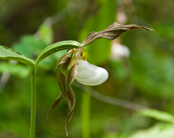 Mountain ladyslipper orchid