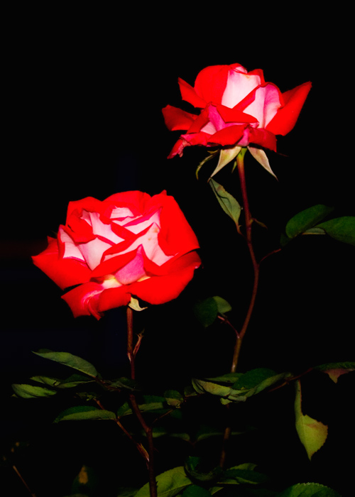 roses_at_night