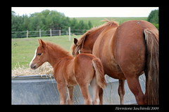 Pony foal and his momma (HME Jaschinski) Tags: cute spring nikon mare pony foal d80