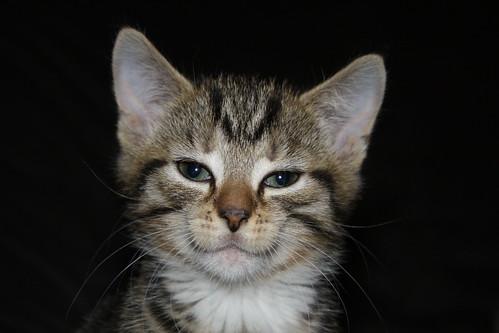 Kat nierfalen