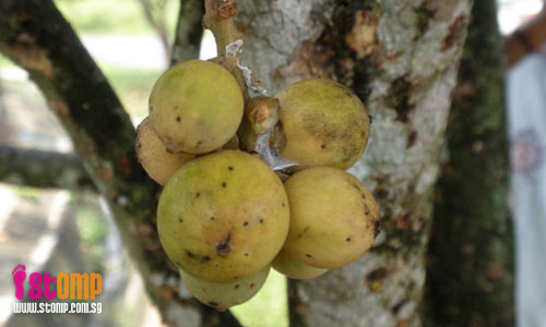 Wild buah langsat at Jalan Murai a treat for foreign workers
