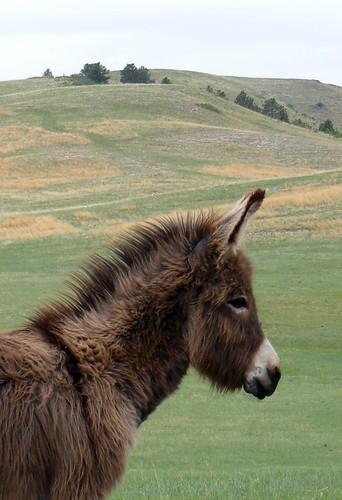 Baby Mule 2