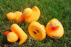 99 Ducks (habitatgirl) Tags: lake rubberduck duckrace myoffice