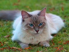 Bianca Lawn Lounging (joecrowaz) Tags: cats pets animals photoshop supershot mywinners kissablekat bestofcats kittyschoice catmoments vosplusbellesphotos alittlebeauty