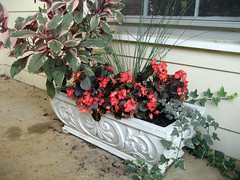 fucshia in planters