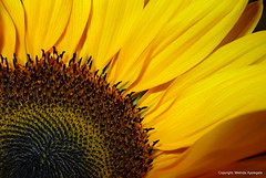 Sunflower Petals (Close Up) (Scandblue) Tags: plant flower macro yellow closeup petals flora bright vibrant vivid sunflower bloom annual sungod blooming inflorescence helianthusannuus heliotropism floweringhead