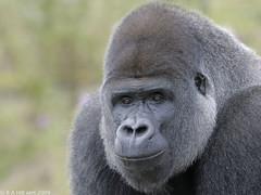 Lowland Gorilla 'Ambam' (gentle lemur) Tags: silverback lowlandgorilla portlympnewildanimalpark gggorilla