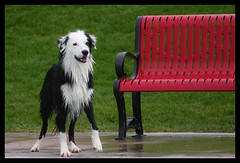 Waiting for his date (Anda74) Tags: red texture bench waiting bordercollie date ouzo impatience wetdog fromphotoshop canonef70200mmf4lusm