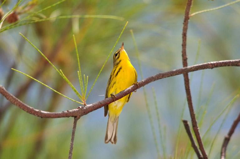 yellowbird_0206