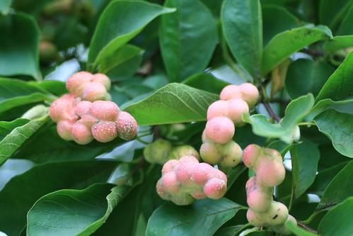 Magnolia kobus fruits