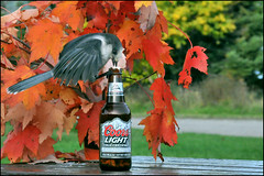 Whiskey-Jack ...er...Coors Light-Jack (Zircon_215) Tags: lomond picnictable coorslight autumleaves greyjay perisoreuscanadensis whiskeyjack grosmornenationalpark tablecenterpiece nikond300