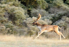 spooked deer