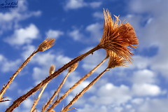 (saeid.goodarzi) Tags: blue sky cloud flower canon golden iran thorns  esfahan                eos1000d